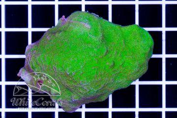 Psammocora Green