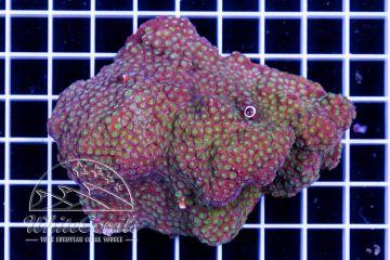 Cyphastrea Green Universe
