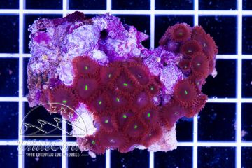 Zoanthus Colony Red People Eater