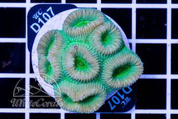 Favia Green