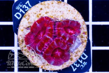 Acanthastrea Pink Candy