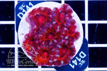 Acanthastrea Candycane