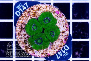Acanthastrea Green Velvet