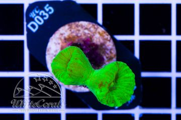 Caulastraea Green Neon