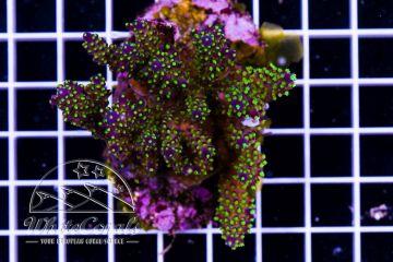 Acropora sp. Bali Tricolor