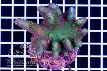 Lobophytum sp. Green