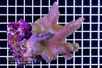 Lobophytum sp. Aussie Green