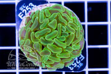 Euphyllia paraancora Green Neon