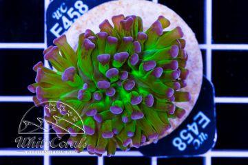 Euphyllia ancora Bicolor