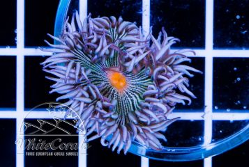 Rockanemone Multicolor Striped