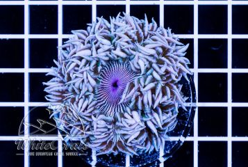 Rockanemone White Stripes