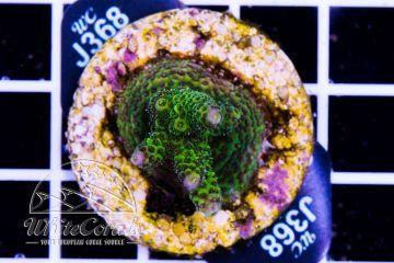 Acropora millepora (Filter) (F1)