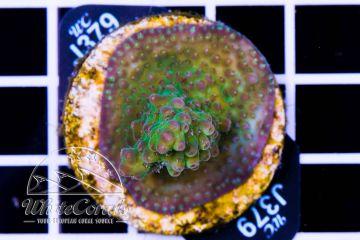 Acropora insignis (Filter) (F1)