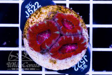Acanthastrea Red Diamond