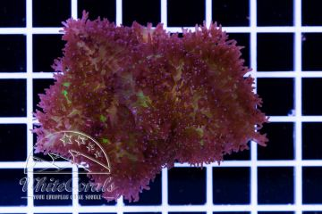 Rhodactis Bicolor Fuzz