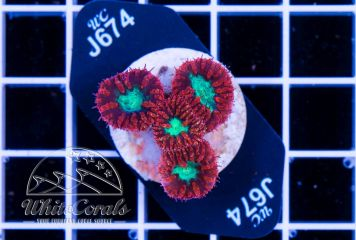 Blastomussa wellsi Red and Green
