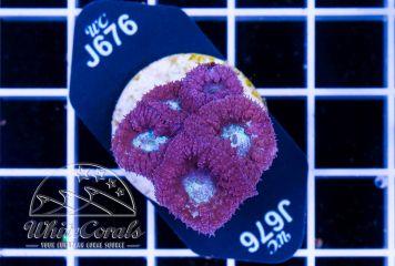 Blastomussa wellsi Purple