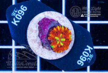 Scolymia Mini Red (Filter)