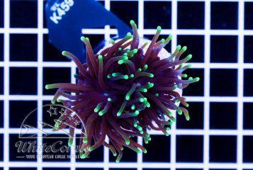 Euphyllia glabrescens Green Tip Black Torch