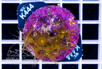 Parazoanthus sp Yellow
