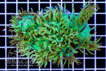 Catalaphyllia jardinei