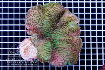Sarcophyton sp. Green