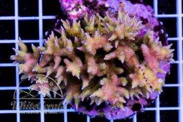 Seriatopora hystrix Yellow