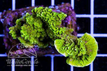 Montipora delicacatula Green