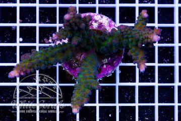 Acropora gomezi