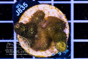 Porites cylindrica Yellow