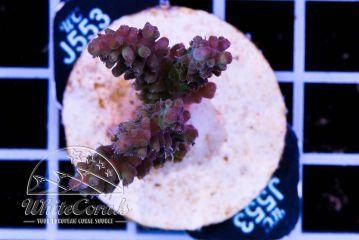 Acropora batunai