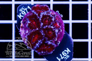 Acanthastrea Bloody Snow