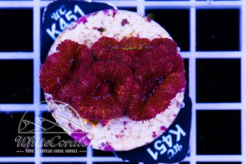Acanthastrea Red Velvet
