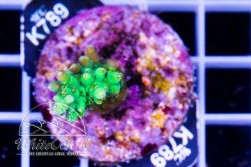 Acropora elegantula (F1)