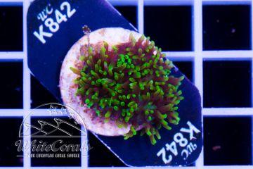 Rhodactis Green Fuzz