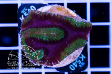 Lobophyllia Tricolor