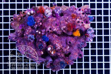 Pavona sp. With Spirobranchus giganteus Multicolor Rock