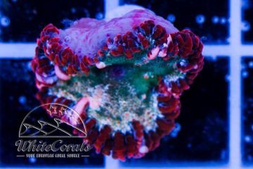Rockanemone Red and Green
