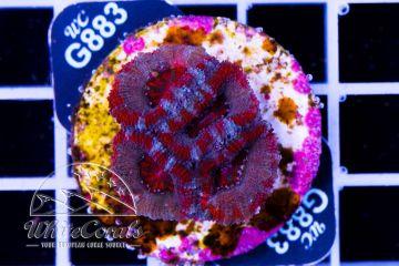 Acanthastrea Cotton Candy