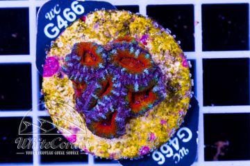 Acanthastrea Red Rainbow