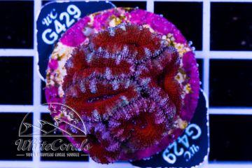 Acanthastrea Tiger Red