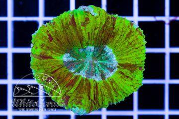 Trachyphyllia Neon Marble