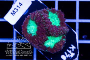 Blastomussa wellsi Green and Purple