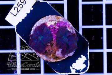 Rhodactis Tonga Blue