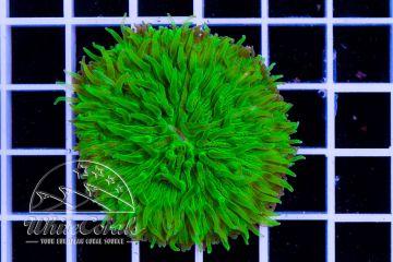 Fungia Green