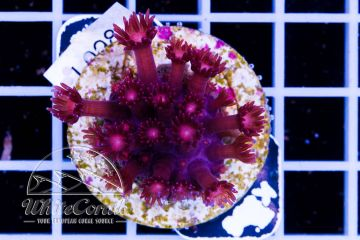 Goniopora Red