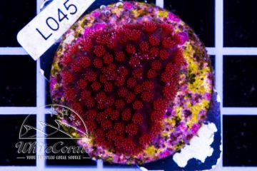 Goniopora Mini Flower Red