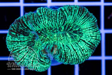 Trachyphyllia Mint