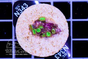 Zoanthus Key Lime Pie