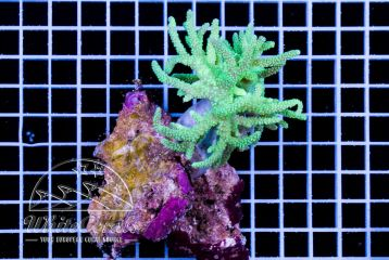 Sinularia flexiblis Aussie Green